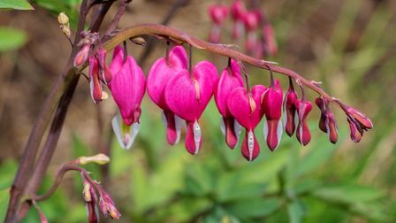 A Dicentra (Bleeding Heart) flowering