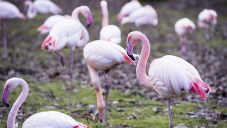 The flamingos at Africa Alive!. Picture: Nick Butcher.