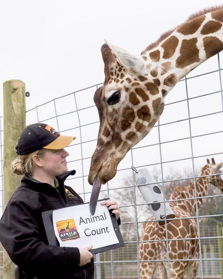 Africa Alive! lead qualified keeper Zoe Nunn with a giraffe during the park's annual animal count. P