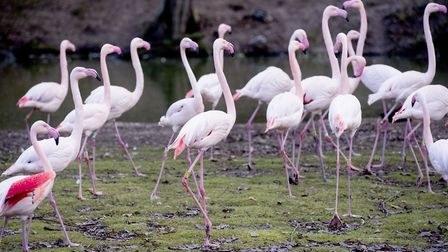 The flamingos at Africa Alive! Picture: Nick Butcher.