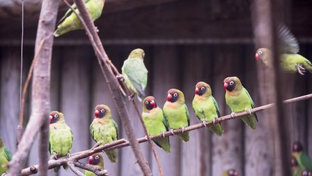 The lovebirds are counted during the annual animal count at Africa Alive! Picture: Nick Butcher.