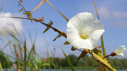Bindweed strangles the plants to which it binds itself, so how can you stop it smothering your garde