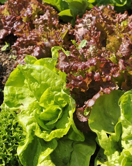 Always give watering priority to thirsty, leafy salads