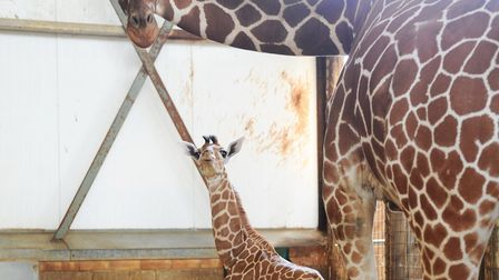 Giraffes at Africa Alive. Picture: LUCY TAYLOR/ARCHANT LIBRARY