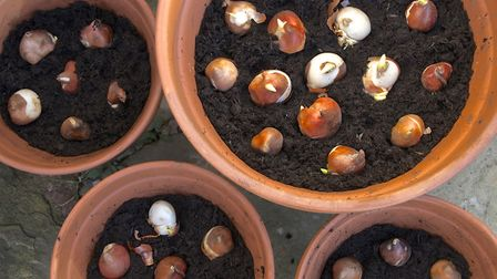 Bulbs should be planted 4-6 inches deep according to the experts