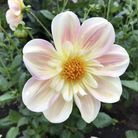 Get ready for autumn with the sweet smell of Dahlias