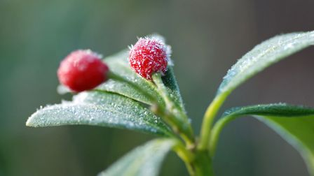 Skimmia japonica produces berries throughout autumn and winter
