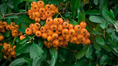 The pyracantha can be a colourful addition and useful for deterring intruders thanks to sharp spikes