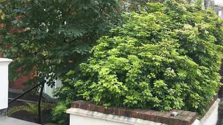The attack took place in the bushes (pictured) on Canfield Gardens Picture: Google Street View