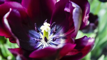 You still have time to plant tulips and give your garden a boost next year