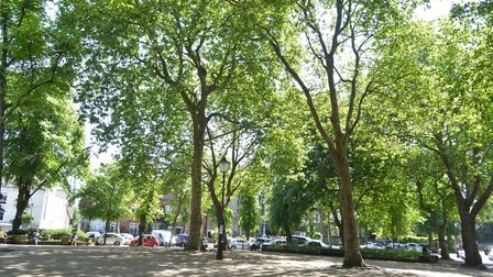 The trees of Pond Square