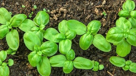 Make your basil last longer by planting the herb in a larger pot than shop bought ones