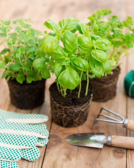 Your basil pots will need drainage holes