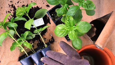 Basil pots need good drainage holes, with multipurpose compost