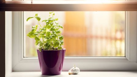 Ideally basil needs 10-12 hours of light a day