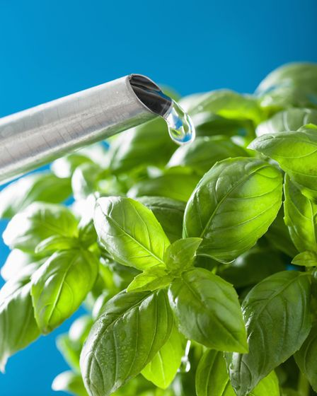 Basil likes moisture - but not too much. Its soil should be kept moist, but not soggy