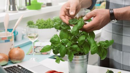 Harvesting basil leaves encourages further growth, but only if you leave a section of leaves remaini