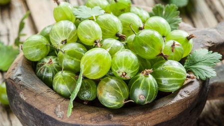 Gooseberries have long been grown for their sharp flavour, which is ideal in tarts, crumbles and jam