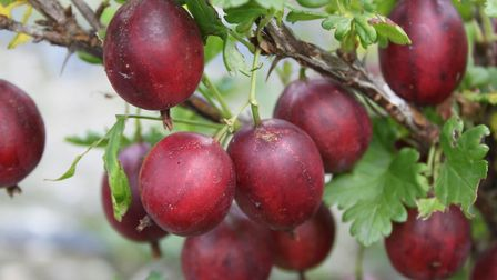 Various colours of gooseberry are available, including the new 'Crispa Darling'