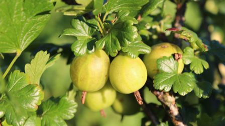 The 'Mr Green' variety of gooseberry