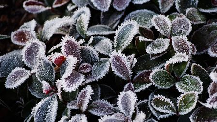 Wintergreen (Gaultheria procumbens) bear festive red berries, or burgundy-leaved ajuga are a great o