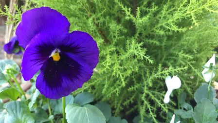 Winter-flowering pansies should flower until the worst weather hits, but will re-emerge to bloom aga