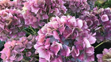 If you have permanent plants such as hydrangeas in containers, leave the flowerheads on