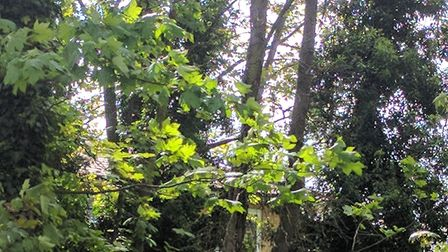 Trees in King Henry's Walk Garden. Picture: WILL McCALLUM