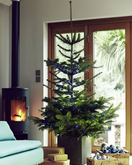 If you want a slimmer tree, Wyevale offers a Swedish style Nordmann, which costs slightly less than