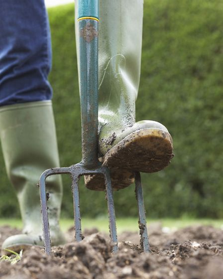 With a garden fork, dig around the perimeter of the plant to gently loosen the tubers