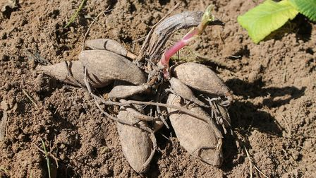 As the first frosts arrive, it's time to lift dahlia tubers and put them in storage over winter, rea