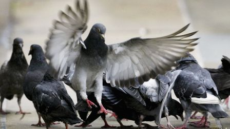 Pigeons in town.