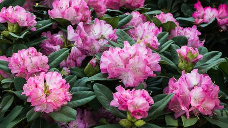 Continuining the theme of low-maintenance, shrubs like rhododendrons, pieris and camellias will give