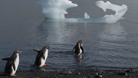 Gentoo penguins near Discovery Bay in the South Shetland Islands, Antarctica. Picture: Daniel Beltra