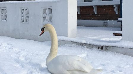 The swan got stuck in the snow and was taken to Woodberry Wetlands. Picture: @MPSHackney