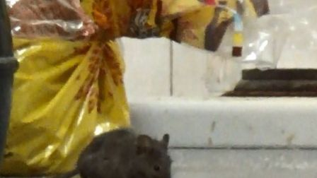 A rat eats crumbs off the kitchen counter at Happy Vale
