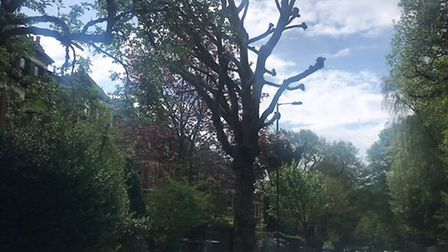 A freshly 'pollarded' tree on Muswell Hill Road yesterday