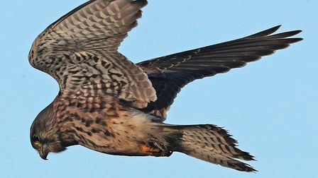 A file image of a kestrel. Picture: OWEN HUMPHREYS/PA WIRE