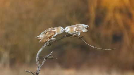 This rare shot of two barn owls sharing the same perch has been crowned The Journal's Picture of the