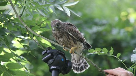 A young kestrel is rescued by a photographer. Picture: Ron Vester