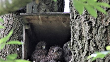 Baby kestrels nesting in the boughs of a Hampstead Heath tree. Picture: Ron Vester