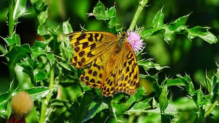 A Silver-Washed Fritillary butterfly on Hampstead Heath. Picture: Michael Hammerson