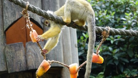 A squirrel monkey nabs an ice lolly. Picture: ZSL London Zoo