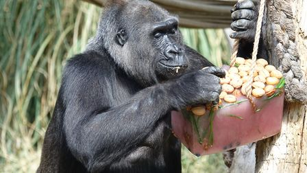 Zaire the gorilla holds court in the sun. Picture: ZSL London