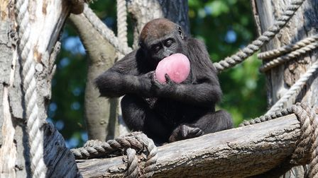 Mine! Gernot the young western lowland gorilla hoardes a huge pink treat all too himself. Picture: Z
