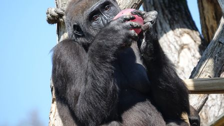 High up in the enclosure, this gorilla isn't sharing. Picture: ZSL London