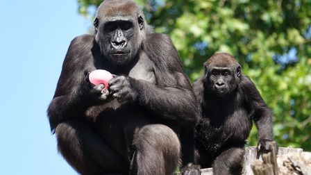 Two western lowland gorillas sunbathe with a nice ice. Picture: ZSL London