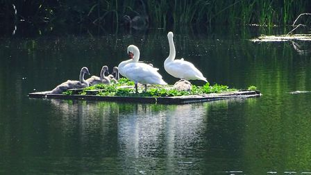 Swans on Hampstead Heath. Picture: Michael Hammerson
