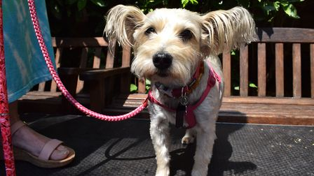 Maude, one of the Miss Hampstead contestants at All Dog's Matter's Pup Idol. Picture: Polly Hancock