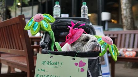 Clementine the bulldog. Picture: Clever Clementine